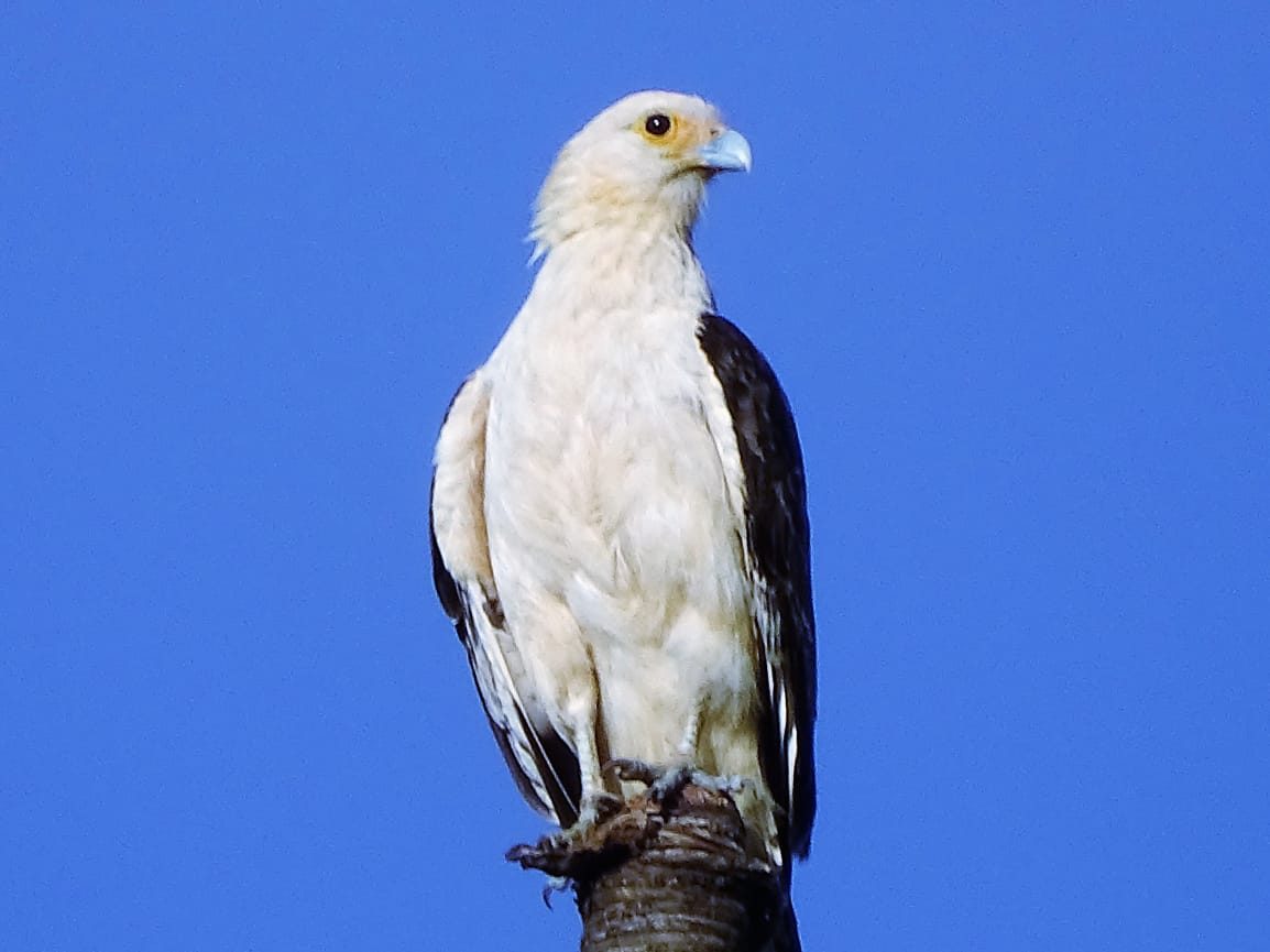 Avistamiento aves Amazonas (11)