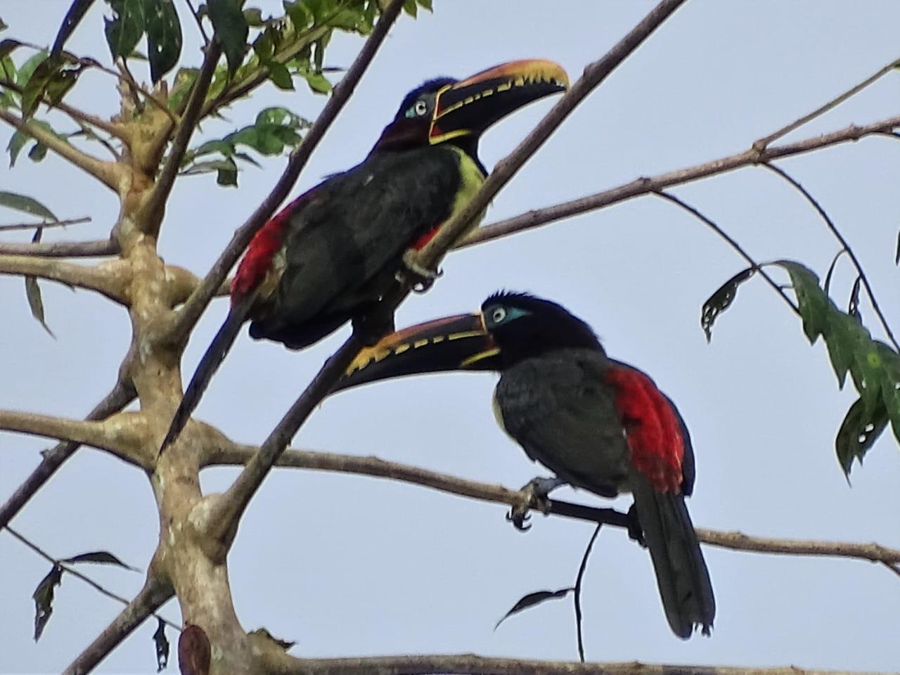Avistamiento aves Amazonas (14)