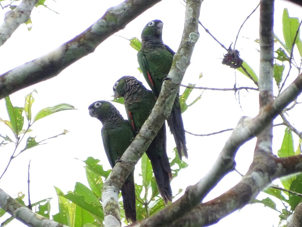 Avistamiento aves Amazonas (15)