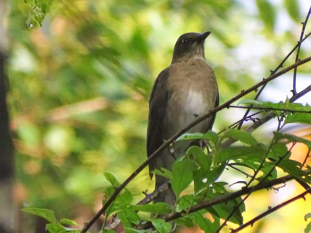 Avistamiento aves Amazonas (16)
