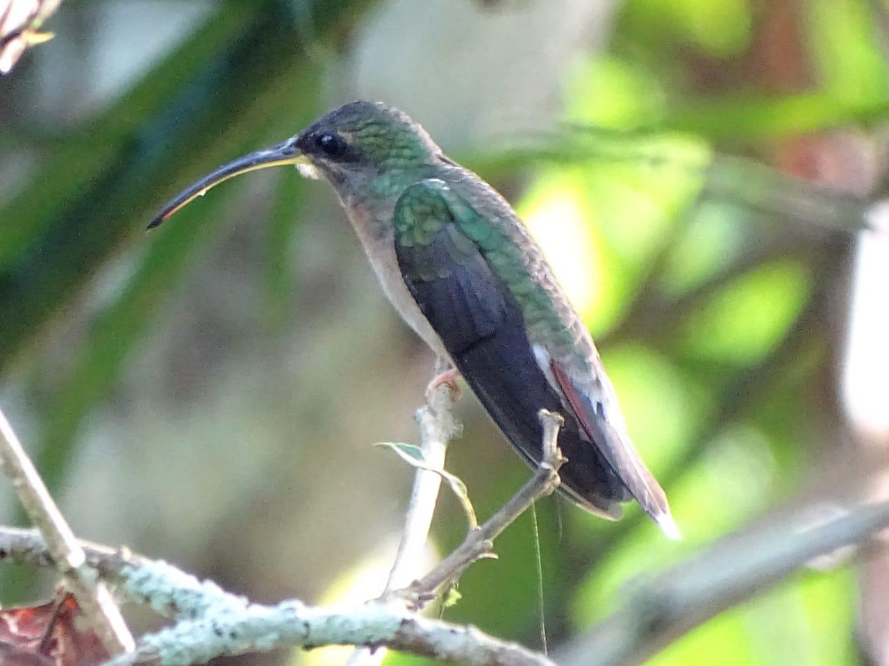 Avistamiento aves Amazonas (4)