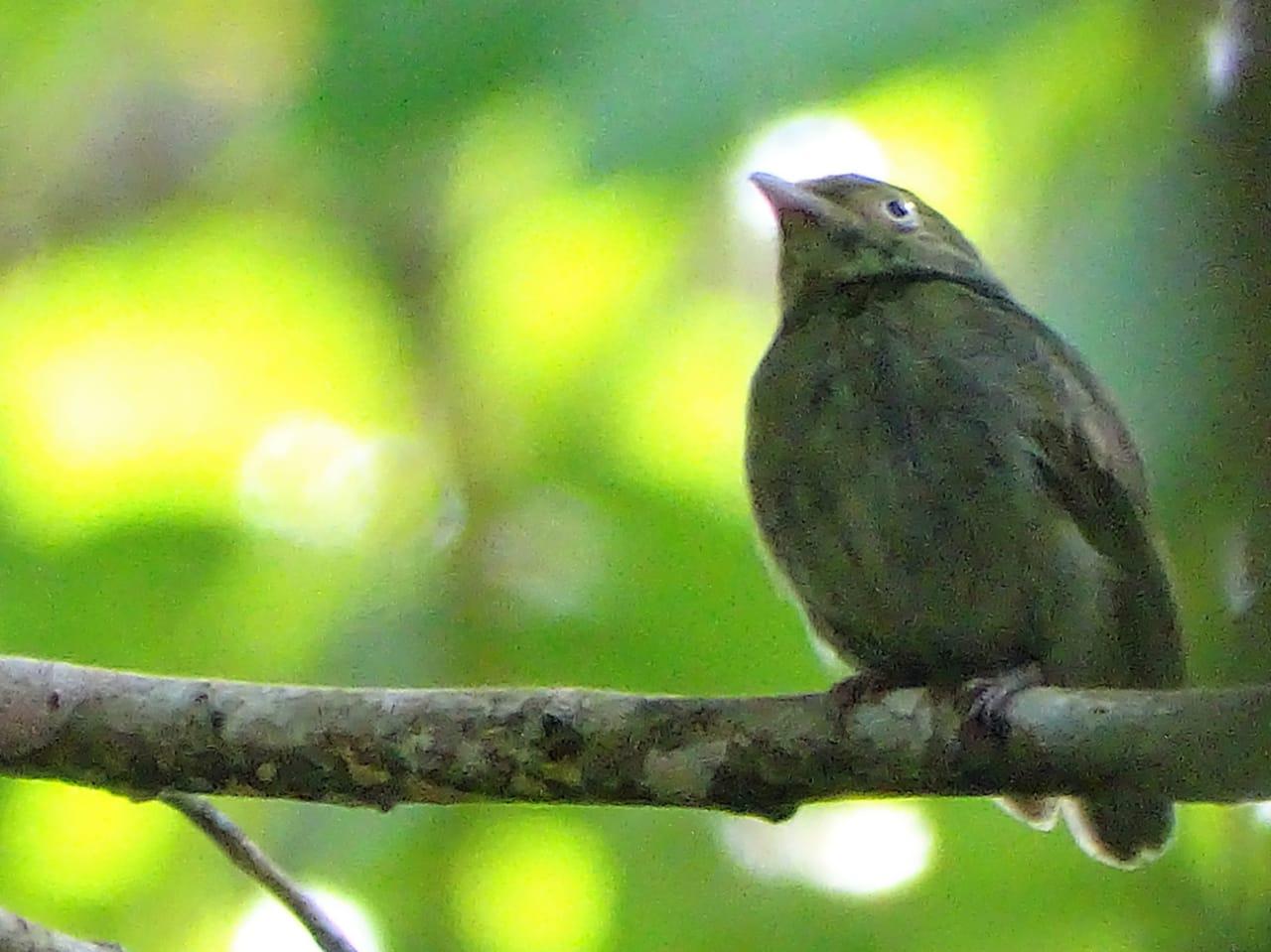 Avistamiento aves Amazonas (6)
