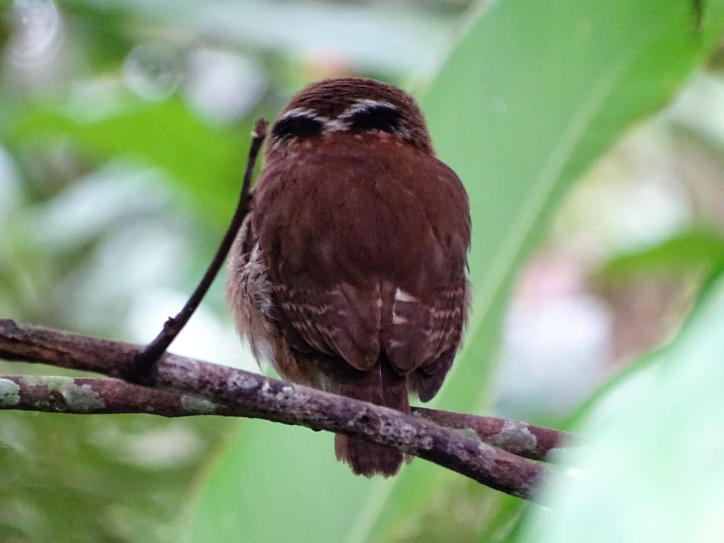 Avistamiento aves Amazonas (8)